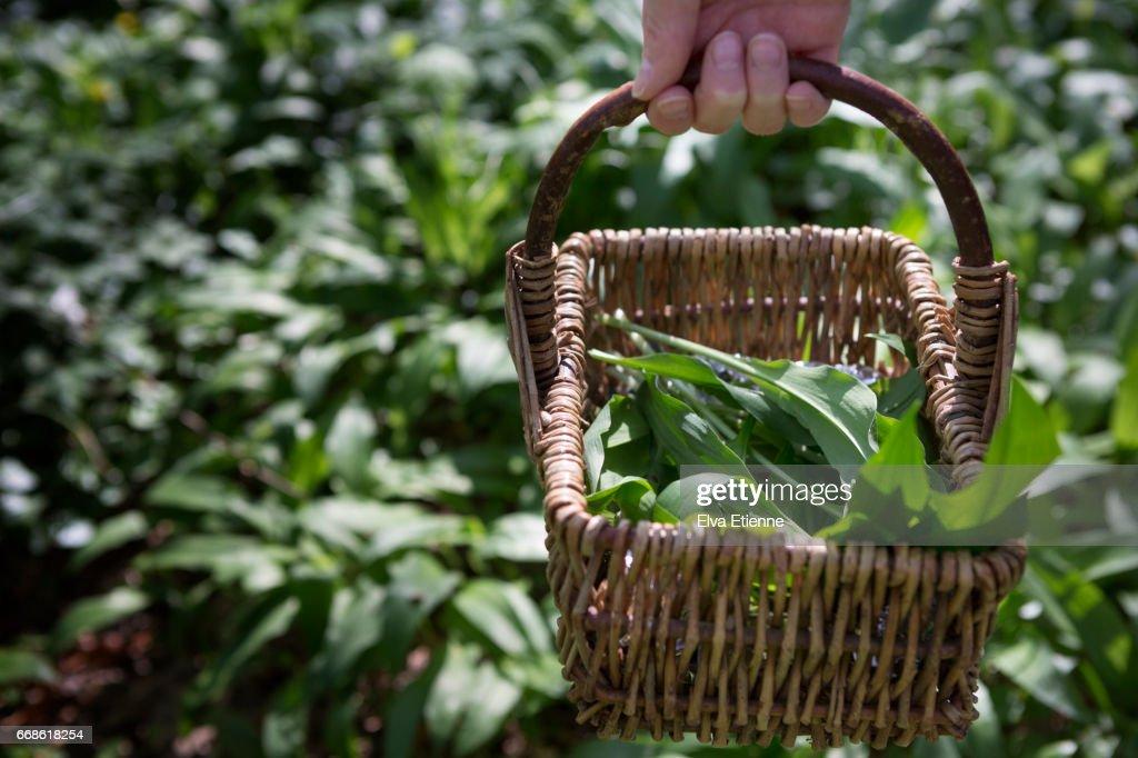 Basket of wild garlic leaves, foraged from woodland : Stock Photo