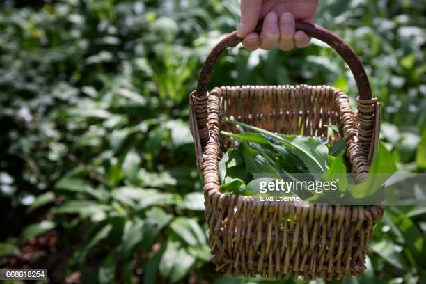 basket of wild garlic leaves, foraged from woodland - ail des ours photos et images de collection