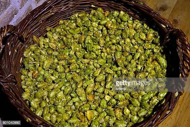 Basket with harvested female hops flowers in the Hop Museum about the cultivation and uses of hops and Belgian beers at Poperinge West Flanders...
