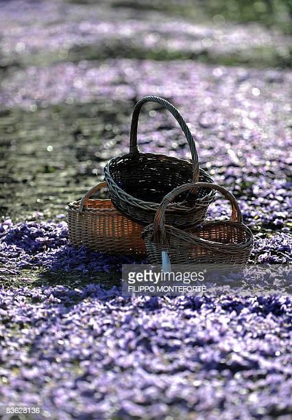 Baskets lay near flowers of Crocus Sativus the saffron crocus during the saffron harvest near the village of San Gimignano on November 5 2008 in the...