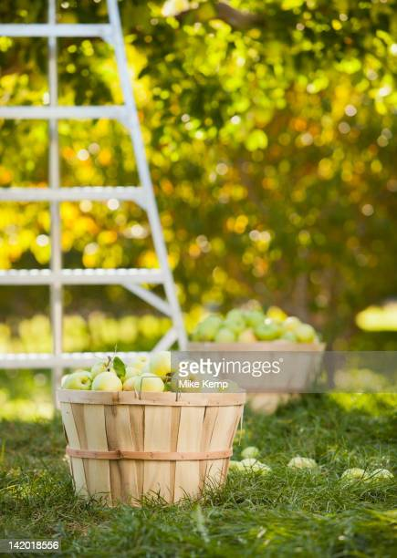Baskets of apples in orchard