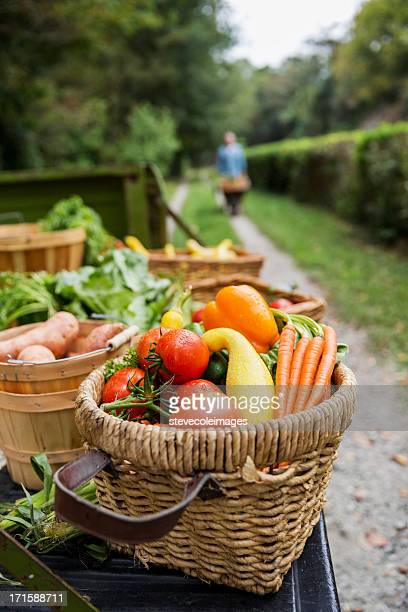 baskets of harvested vegetables in garden. - farm to table stock photos and pictures