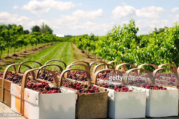 Baskets with cherries