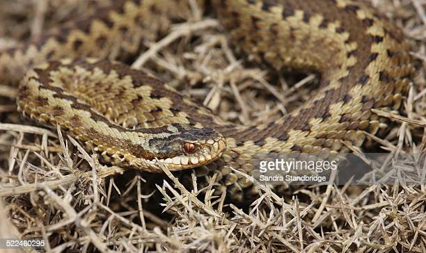 A basking Adder