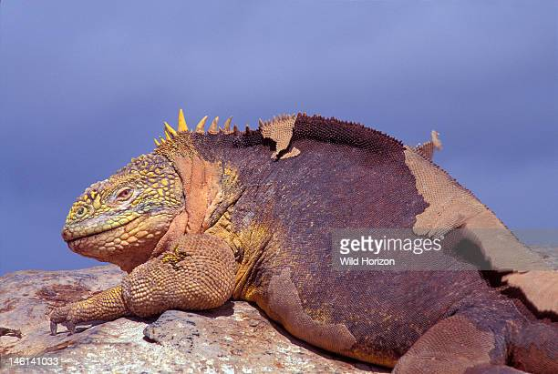 Basking Galapagos land iguana a threatened species of Vulnerable conservation status Conolophus subcristatus This lizard is molting shedding skin...