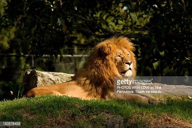 Basking in alone in his pride