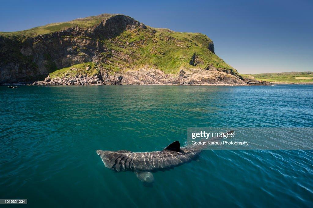 Basking shark (Cetorhinus maximus), Baltimore, Cork, Ireland : Stock Photo