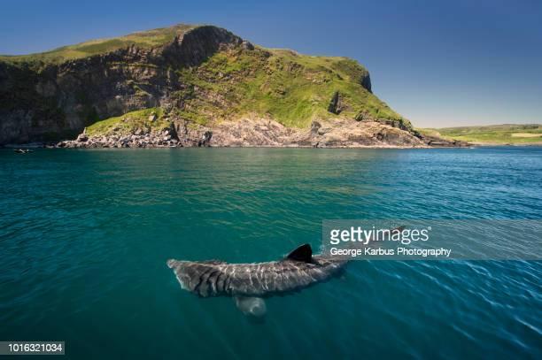 basking shark (cetorhinus maximus), baltimore, cork, ireland - county cork stock pictures, royalty-free photos & images