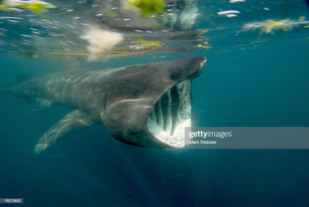 Basking shark (Cetorhinus maximus), Falmouth Bay, Cornwall, UK : Foto de stock