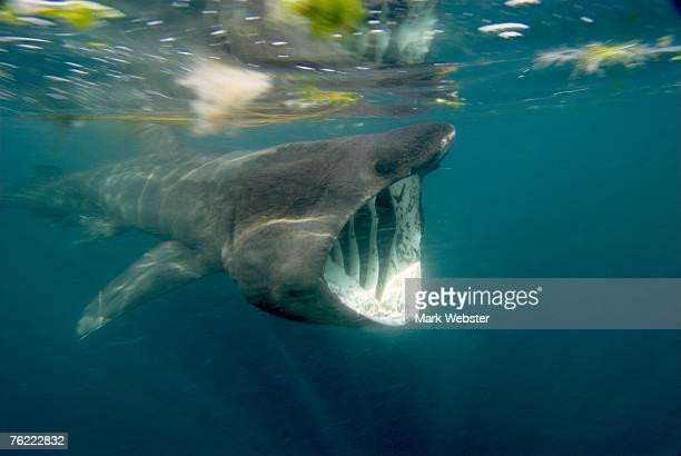 basking shark (cetorhinus maximus), falmouth bay, cornwall, uk - basking shark stock photos and pictures