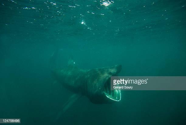 basking shark (cetorhinus maximus) feeding on plankton, isle of man, uk - shark stock pictures, royalty-free photos & images