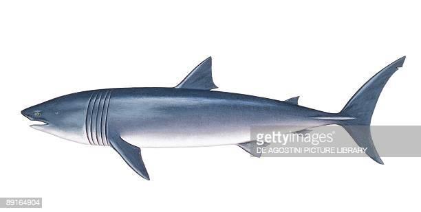 Basking shark illustration