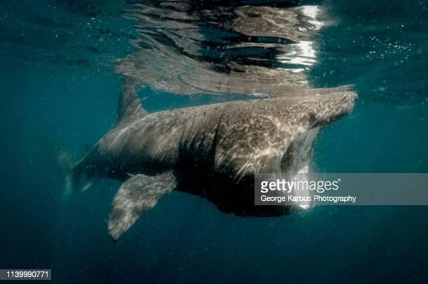 basking shark - peregrino fotografías e imágenes de stock