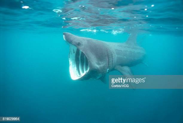 basking shark ストックフォトと画像 getty images