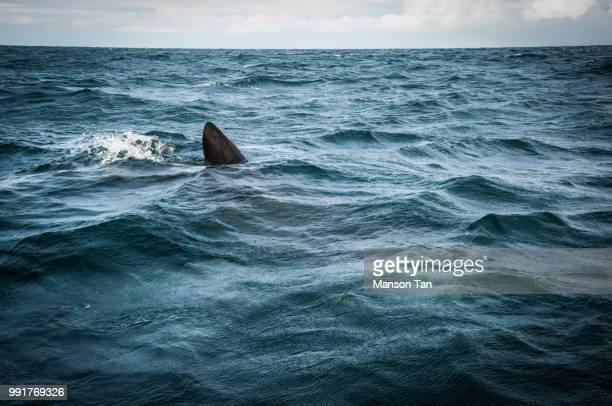 basking shark - basking shark stock photos and pictures