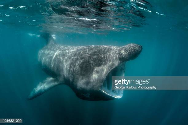 basking shark (cetorhinus maximus), underwater view, baltimore, cork, ireland - peregrino fotografías e imágenes de stock