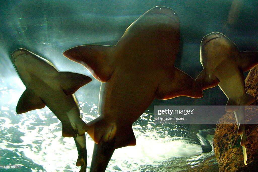 Basking sharks in the aquarium, Loro Parque, Tenerife, Canary Islands, 2007. : News Photo