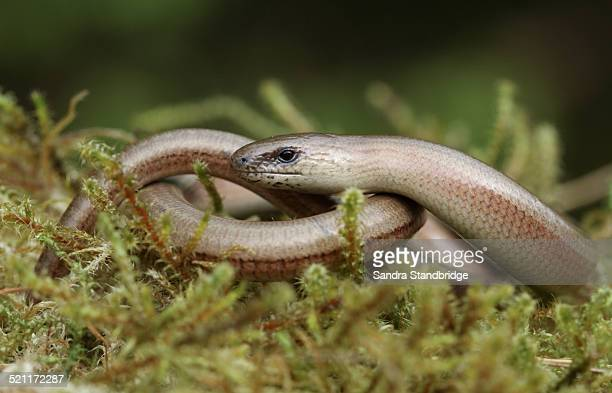 A basking Slow Worm
