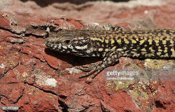 A basking Wall Lizard.