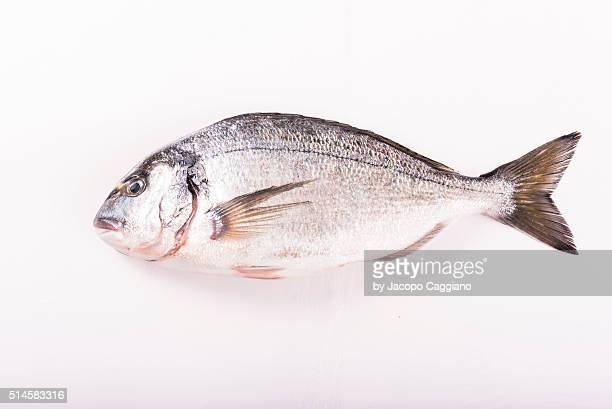 bass fish - jacopo caggiano stock pictures, royalty-free photos & images