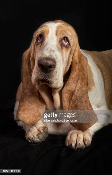 basset h 2 - basset hound stock pictures, royalty-free photos & images