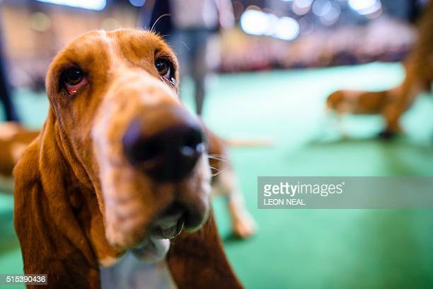 A Basset Hound dog is shown on the final day of the Crufts Dog Show in Birmingham in central England on March 13 2016 / AFP / Leon NEAL