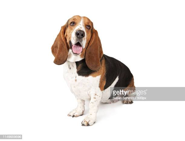 basset hound dog looking to the side - basset hound stock pictures, royalty-free photos & images