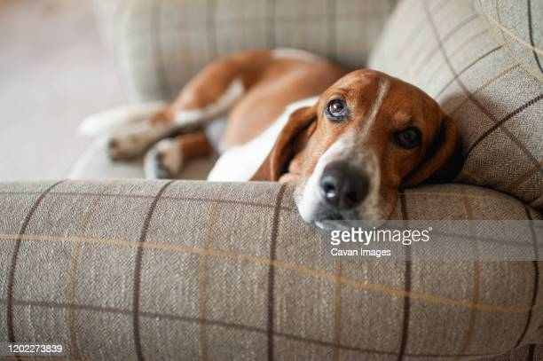 basset hound dog relaxing in large plaid chair at home - basset hound stock pictures, royalty-free photos & images