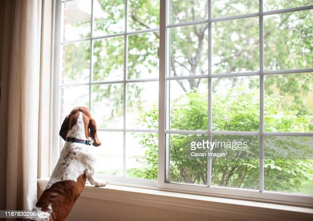 basset hound dog staring out the window waiting at home - waiting stock pictures, royalty-free photos & images
