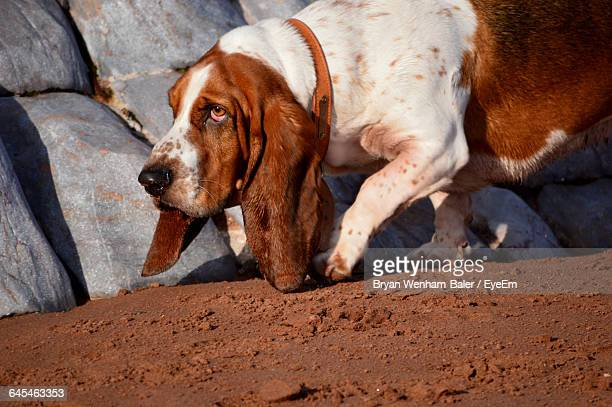 Basset Hound Dog Walking Against Rocks At Beach