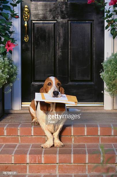 Basset Hound Fetching Newspaper