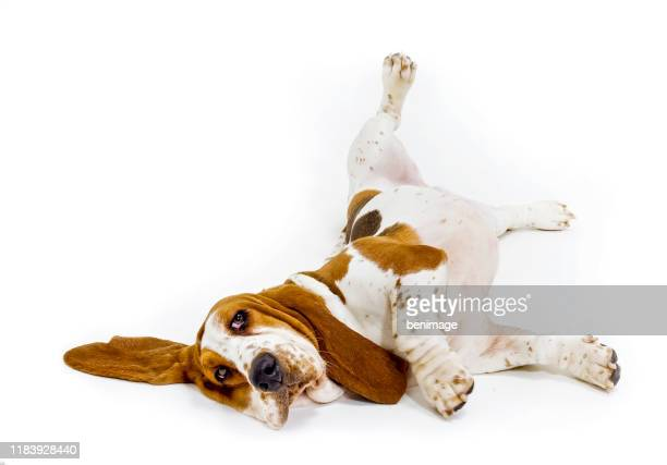 basset hound in white background - basset hound stock pictures, royalty-free photos & images