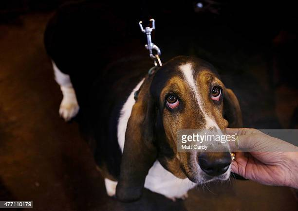 Basset Hound is tickled on the second day of the Crufts dog show at the NEC on March 7 2014 in Birmingham England Said to be the largest show of its...