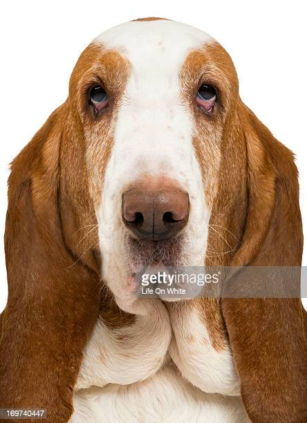 Basset Hound looking at the camera