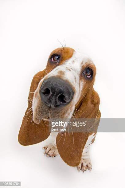 basset hound looking up - basset hound stock pictures, royalty-free photos & images