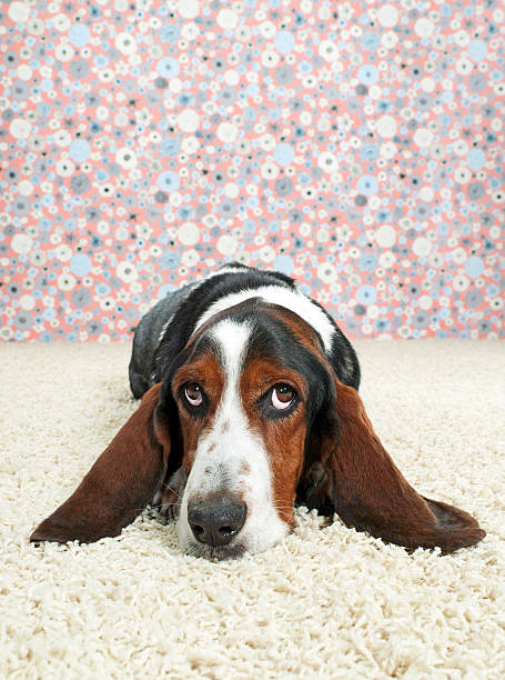 Basset Hound Lying Down on Fancy Set