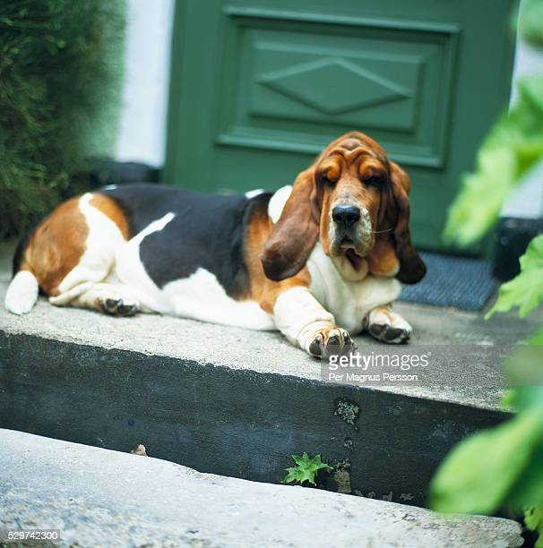 Basset hound lying on doorstep
