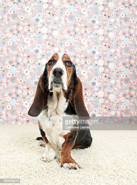 Basset Hound on Fancy Set