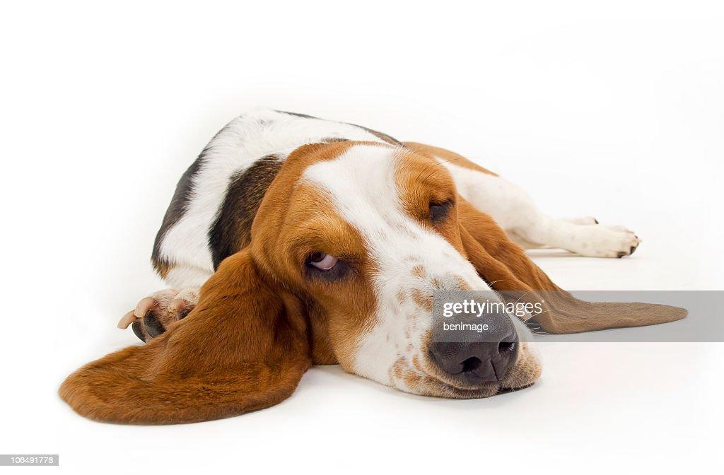 バセット犬 : ストックフォト