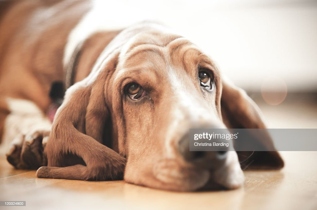 Basset hound : Stock Photo