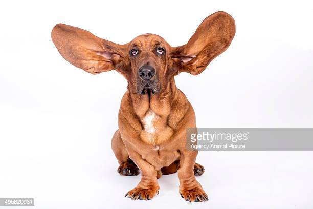 basset hound - animal ear stock photos and pictures