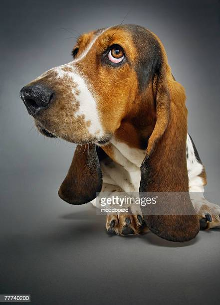 basset hound - basset hound stock pictures, royalty-free photos & images