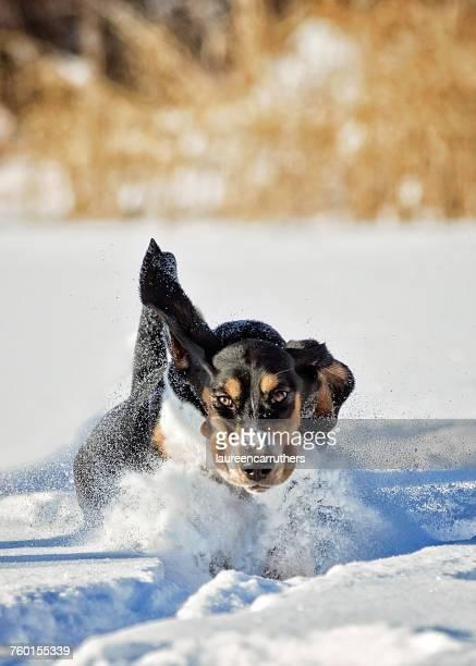 Basset Hound Running