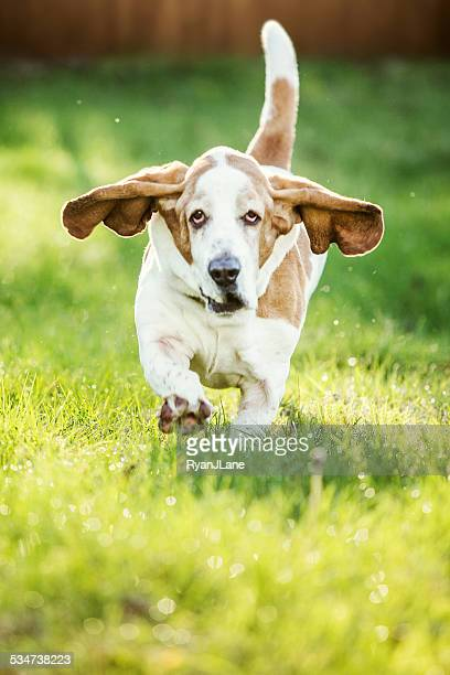 basset hound running - basset hound stock pictures, royalty-free photos & images