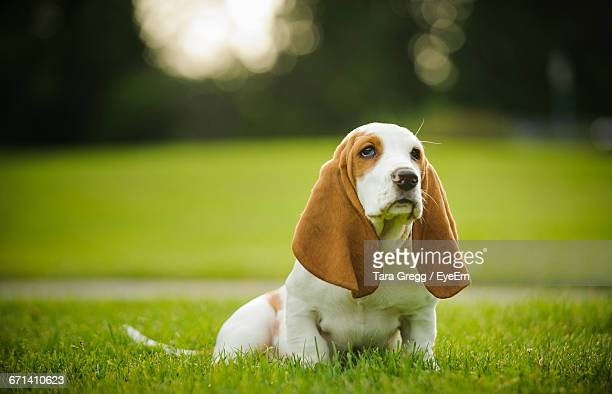basset hound sitting on grass - basset hound stock pictures, royalty-free photos & images