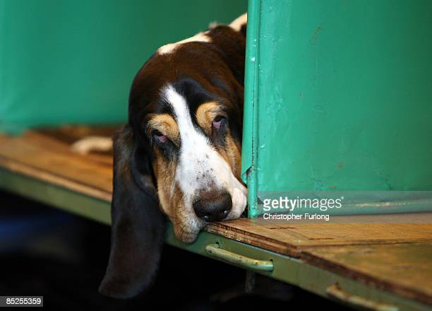 Basset Hound takes a rest in it's pen after judging on the first day of the annual Crufts dog show at the National Exhibition Centre on March 5 2009...
