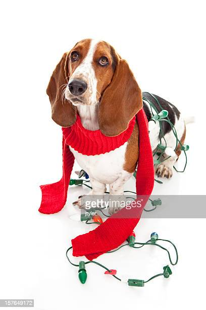 Basset Hound with Chrismas Light and Red Scaraf