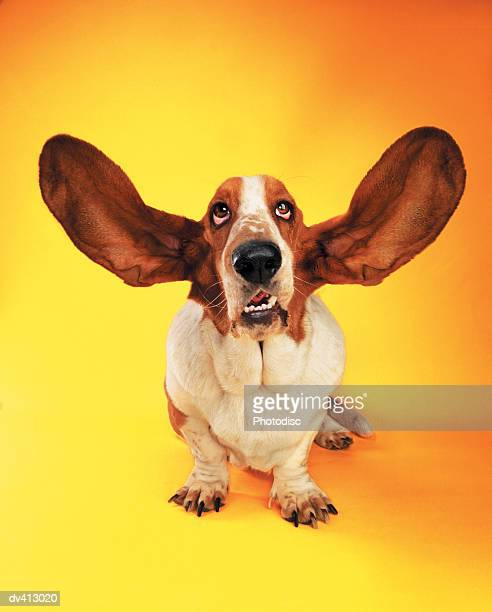 Basset Hound with ears flying