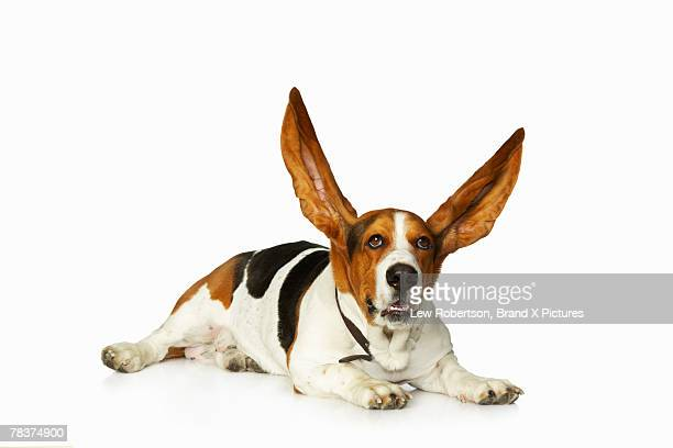 basset hound with ears raised - animal ear stock photos and pictures