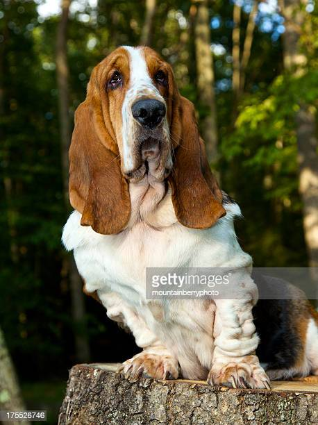 basset puppy - hound stock pictures, royalty-free photos & images